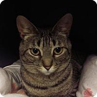 Domestic Shorthair Cat for adoption in Brainardsville, New York - Sissy