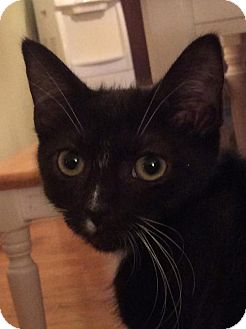Domestic Shorthair Kitten for adoption in Baltimore, Maryland - Dash (Queenie)