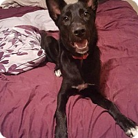Shepherd (Unknown Type) Mix Dog for adoption in Evansville, Indiana - Macy