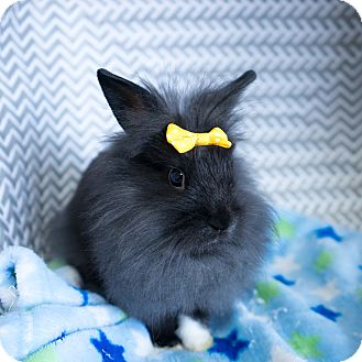 Lionhead Mix for adoption in Montclair, California - Haley