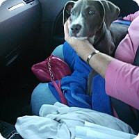 Pit Bull Terrier Mix Puppy for adoption in Durham, North Carolina - Gretchen