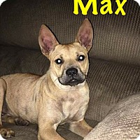 French Bulldog/Terrier (Unknown Type, Medium) Mix Dog for adoption in Fort Wayne, Indiana - Max