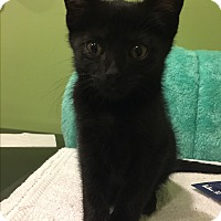 Adopt A Pet :: Mr Midnight - Cincinnati, OH