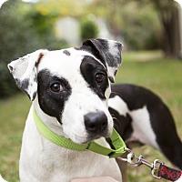 Adopt A Pet :: Sadie Bell - Houston, TX