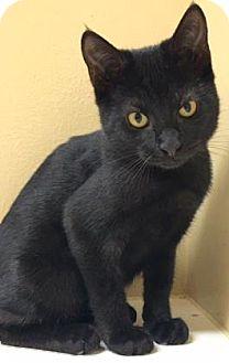Domestic Longhair Kitten for adoption in Cumming, Georgia - Clancy