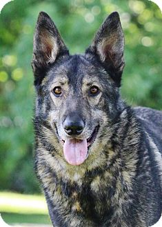 German Shepherd Dog Dog for adoption in Nashville, Tennessee - Sam