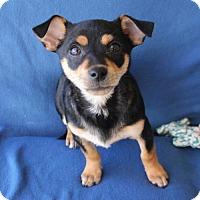 Adopt A Pet :: Blitxen - Phoenix, AZ
