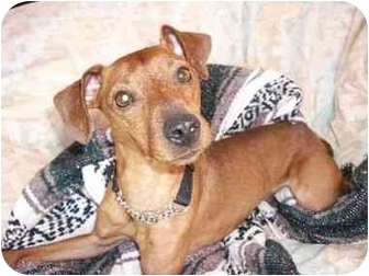 Miniature Pinscher Mix Dog for adoption in Phoenix, Arizona - Nene