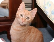 Domestic Shorthair Kitten for adoption in East Brunswick, New Jersey - Damon