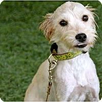 Adopt A Pet :: Brooke - Mission Viejo, CA