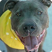 Adopt A Pet :: Blue Bob *Blue Nose* - Canoga Park, CA