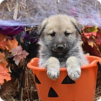 Adopt A Pet :: Grayson - Charlemont, MA