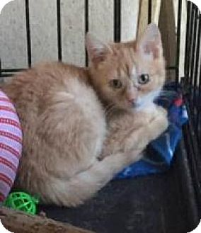 Domestic Mediumhair Kitten for adoption in McKinney, Texas - Biscuit