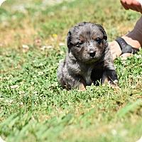 Adopt A Pet :: Hemingway - Groton, MA