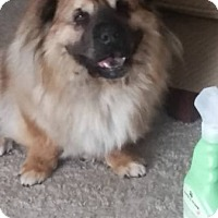 Adopt A Pet :: Corgi Chow Mix - Lomita, CA