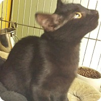 Adopt A Pet :: Night Talker - Holden, MO