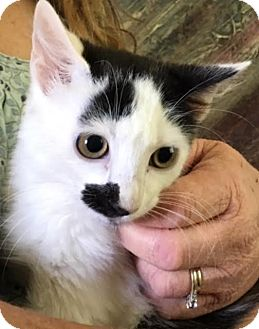 Domestic Longhair Cat for adoption in Burlington, North Carolina - ERNEST