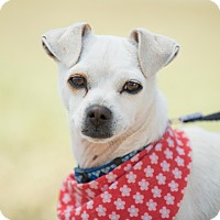 Fox Terrier (Toy)/Italian Greyhound Mix Dog for adoption in La Jolla, California - Emmeth