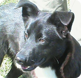 Border Collie Mix Dog for adoption in Maynardville, Tennessee - Booker