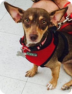 Dachshund/Chihuahua Mix Dog for adoption in Beavercreek, Ohio - Angel