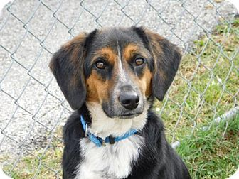 Beagle/Shepherd (Unknown Type) Mix Dog for adoption in Allentown, Pennsylvania - Rusty Turner