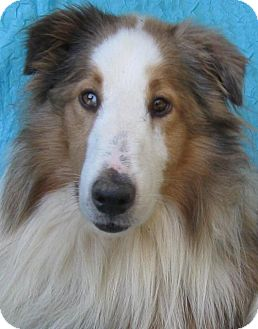 Sheltie, Shetland Sheepdog/Collie Mix Dog for adoption in Cuba, New York - Princeton
