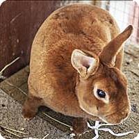 Adopt A Pet :: Gingersnap - Napa, CA
