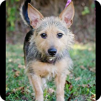 Norwich Terrier/Terrier (Unknown Type, Small) Mix Dog for adoption in Bristol, Tennessee - Sherman
