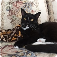 Domestic Shorthair Cat for adoption in New Albany, Ohio - Sully