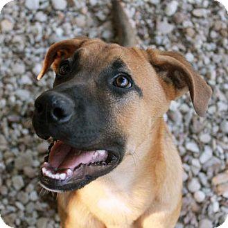 German Shepherd Dog/Boxer Mix Puppy for adoption in Waco, Texas - Luckenbach