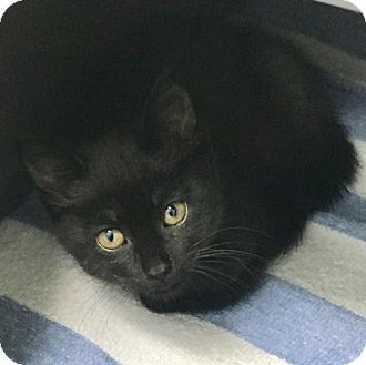 Domestic Shorthair Cat for adoption in Manteo, North Carolina - Dani
