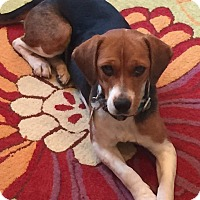 Beagle Dog for adoption in Williamsburg, Virginia - Annie