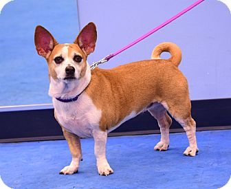 Corgi Mix Dog for adoption in Scottsdale, Arizona - Suzie