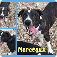 Adopt A Pet :: Marceaux - Walker, LA