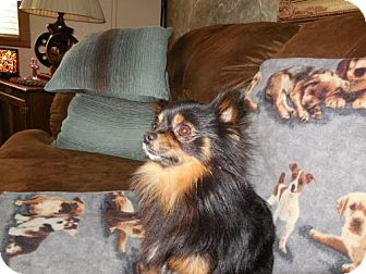Chihuahua Dog for adoption in C/S & Denver Metro, Colorado - Syd 1 Year