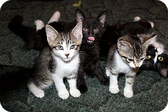 Domestic Shorthair Kitten for adoption in Nolensville, Tennessee - Hatter