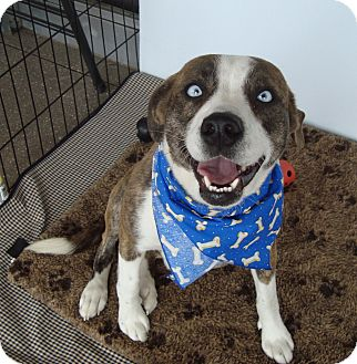 Catahoula Leopard Dog Mix Dog for adoption in Tallahassee, Florida - Blue