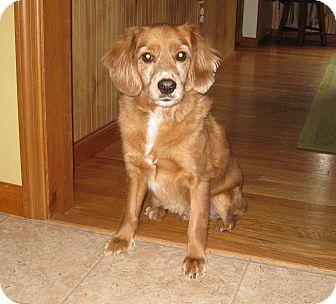 Cocker Spaniel/Poodle (Miniature) Mix Dog for adoption in Homer, New York - Figgler