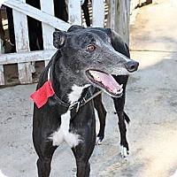 Adopt A Pet :: JJ - Philadelphia, PA