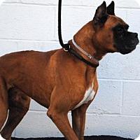 Boxer Dog for adoption in Huntington Beach, California - CONRAD