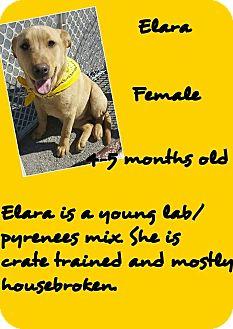 Labrador Retriever/Great Pyrenees Mix Puppy for adoption in Stephenville, Texas - Elara