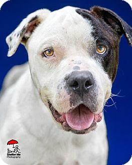 American Bulldog Dog for adoption in Lafayette, Louisiana - Carter