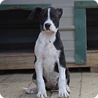 Adopt A Pet :: Topaz - Groton, MA