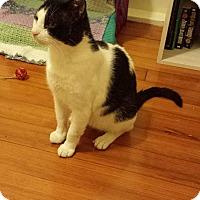 Domestic Shorthair Cat for adoption in Boston, Massachusetts - Otto