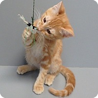 Domestic Shorthair Cat for adoption in Seguin, Texas - George