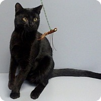 Domestic Shorthair Cat for adoption in Seguin, Texas - Wizard
