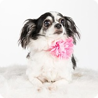 Chihuahua Dog for adoption in St. Louis Park, Minnesota - Vera