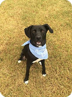 Labrador Retriever Mix Dog for adoption in Nanuet, New York - Bo