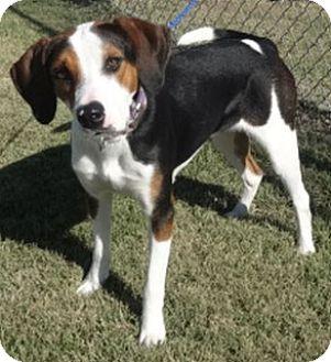 Treeing Walker Coonhound Mix Dog for adoption in Olive Branch, Mississippi - Violet