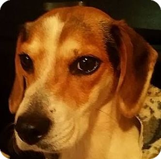 Beagle/Pointer Mix Dog for adoption in Rustburg, Virginia - Faith: Fostered